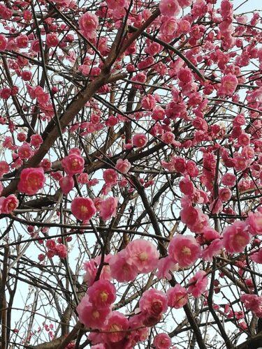 身近な花ばな、梅づくし