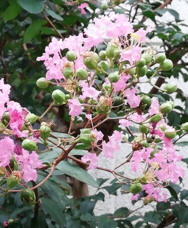 8月に咲いている花木