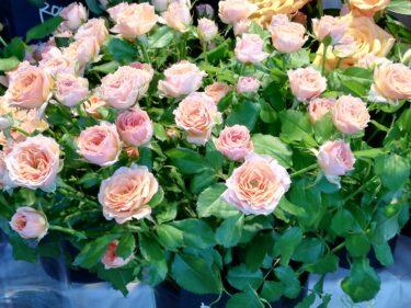 薔薇、バラ