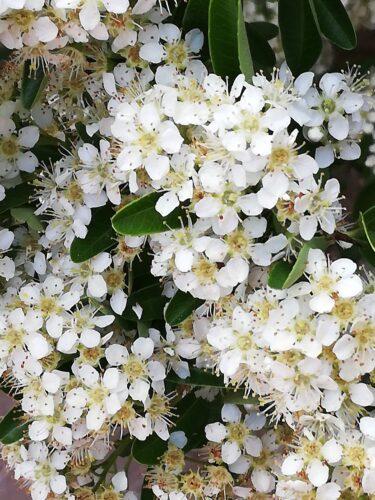 5月に咲いている花木